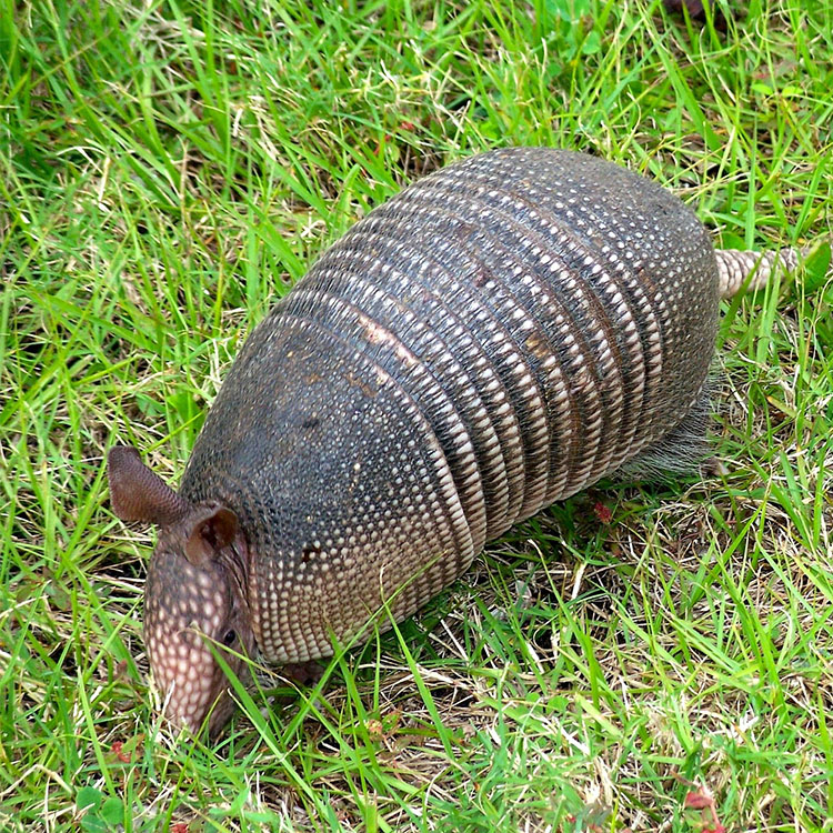 Armadillo Inspection