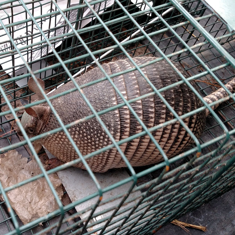 armadillo in the trap