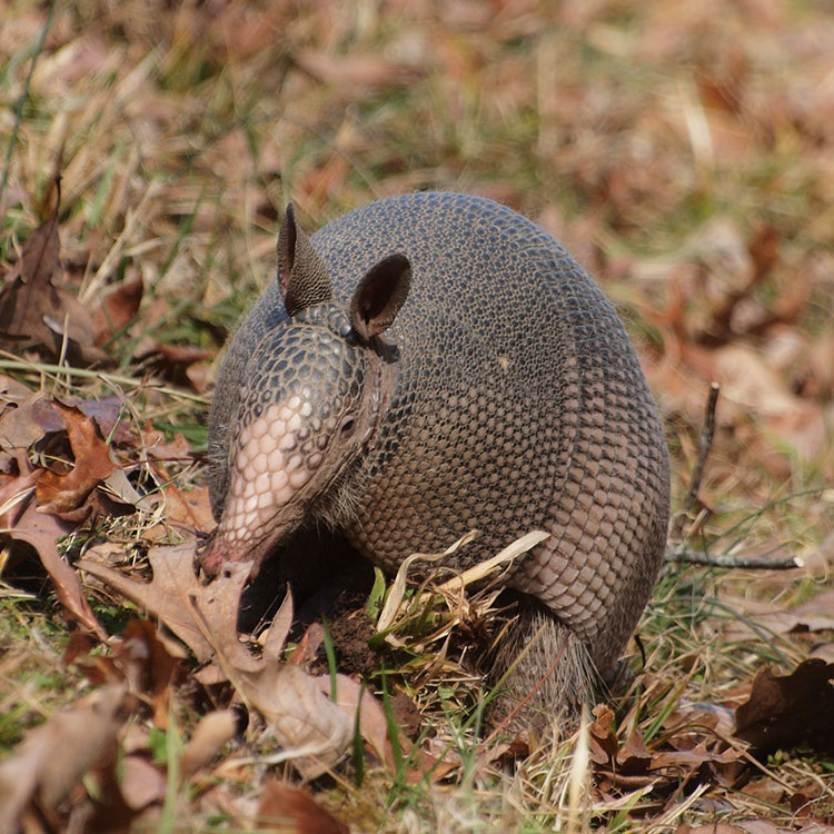 armadillo in the yard