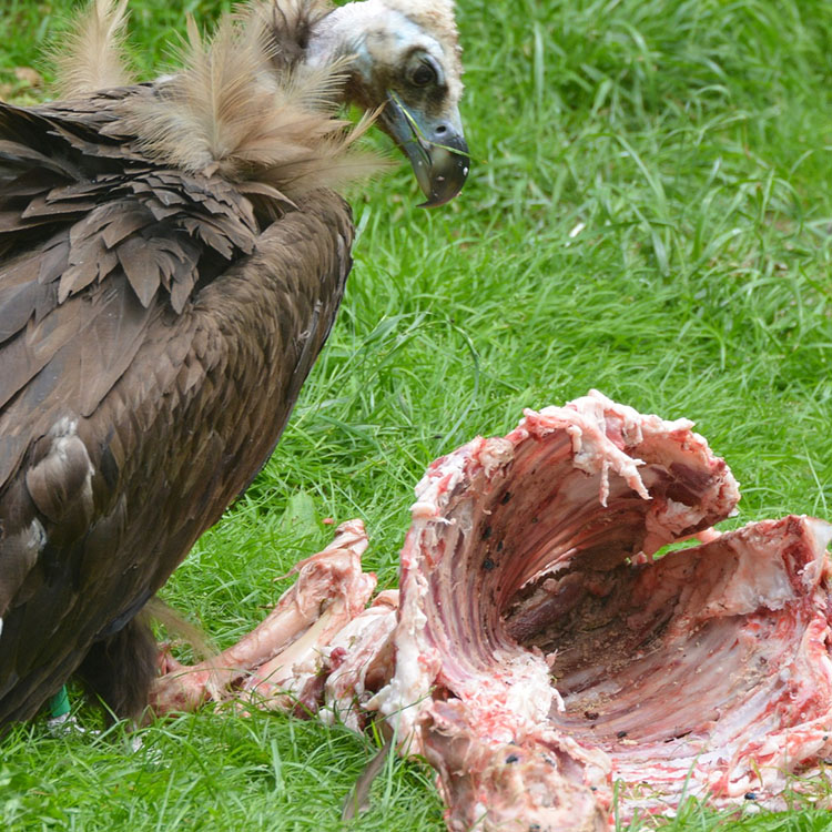 large dead possum eaten by baby vulture