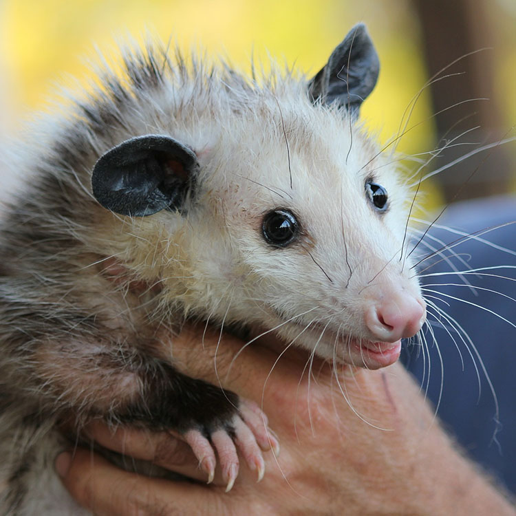 possum falls into window well and get rescued