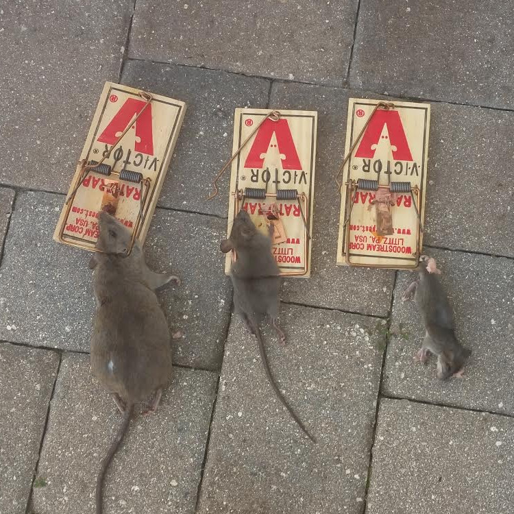 Image of rats in traps