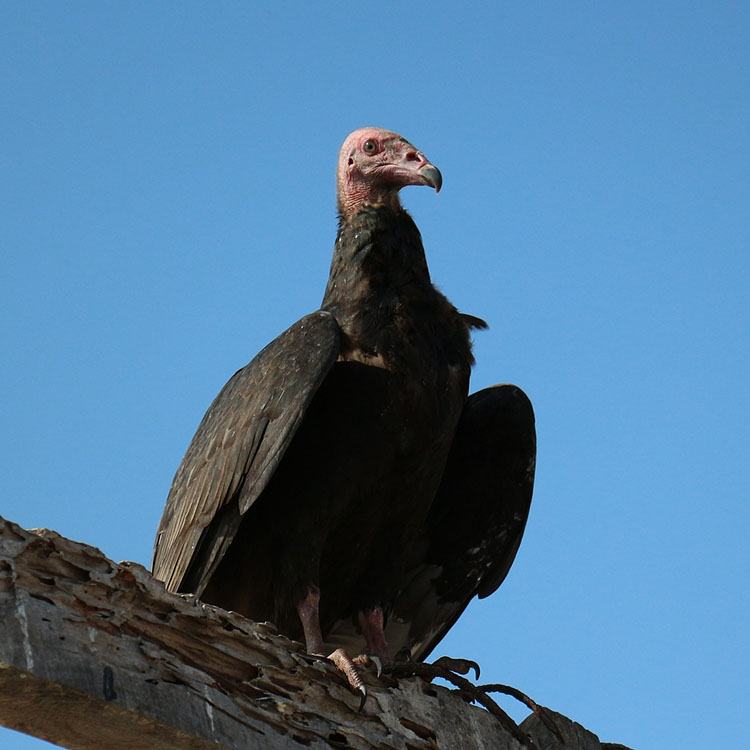 scavenger turkey vulture